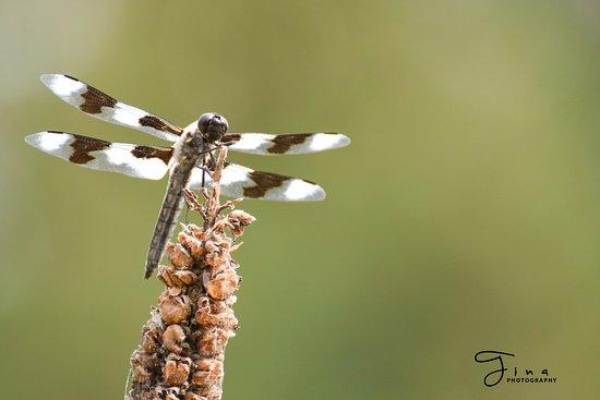 Peter Kalasz Photography: Eight Spotted Skimmer - Christina Lake, BC
