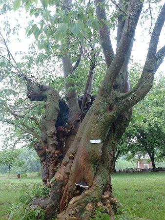 Monticello, residencia de Thomas Jefferson: This tree has seen many things...