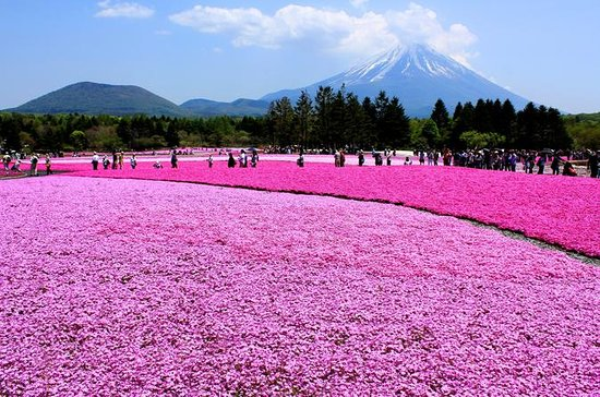 Pink Moss Phlox Festival, Estação Mt...