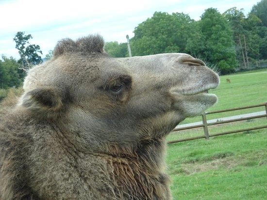 Longleat A Bactrain Camel 2 Humps