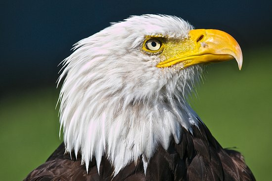 Coaldale, Kanada: Jefferson - resident bald eagle