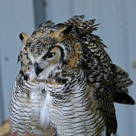 Coaldale, Kanada: Great Horned Owl