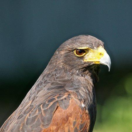 Coaldale, Canada: Hawk
