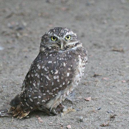 Coaldale, Canada: Burrowing Owl