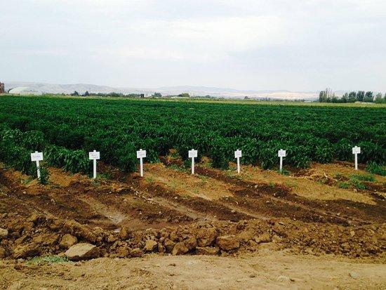 Yakima, WA: Upick pepper Field