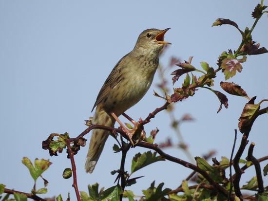 Bempton, UK: Grasshopper Warbler in full warble