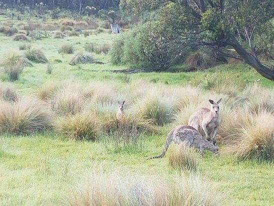 Snowy Mountains, أستراليا: Kangaroos in Snowy Mountains