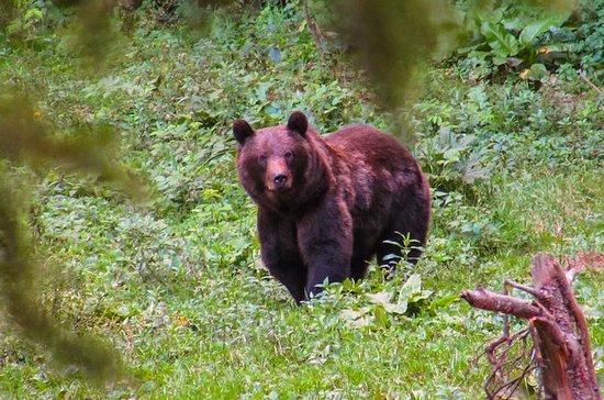 Bjørn ser erfaring nær Brasov