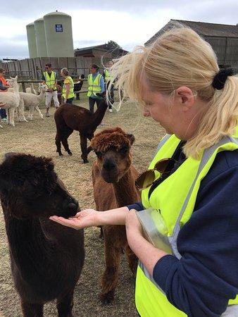 Alpaca Annie: Lady feeding the ladies!