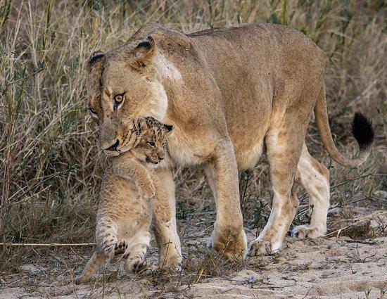 Mala Mala Private Game Reserve, Sudáfrica: A special moment at Rattrats Mala Mala Reserve