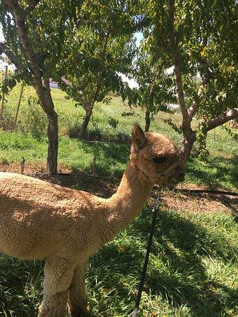 Suncrest Orchard Alpacas Photo