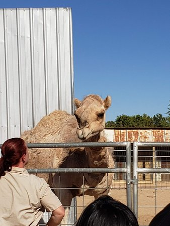 Hesperia Zoo: Dromedary happy to visit with tour