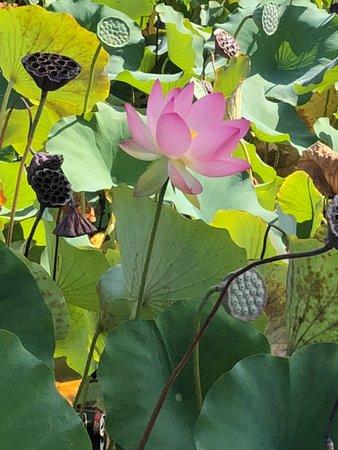 Lotus Flower Picture Of Echo Park Los Angeles Tripadvisor