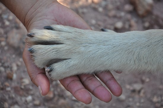 Colorado Wolf Adventures: Big Paws