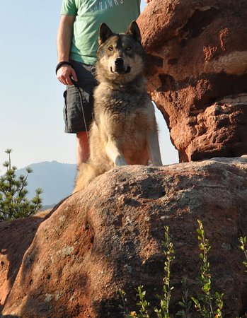 "Colorado Wolf Adventures: My husband is 6'4"" as you can I believe this is Ghost is sitting above my husband waist."