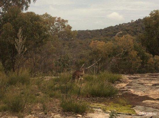 Girraween National Park: Wallaby at Giraween National Park