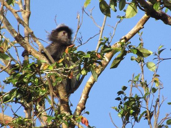 Район Кинабатанган, Малайзия: silver leaf monkey
