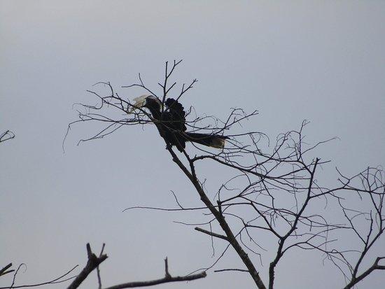 Район Кинабатанган, Малайзия: Hornbills