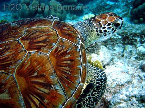 Kralendijk, Bonaire: Green Turtle