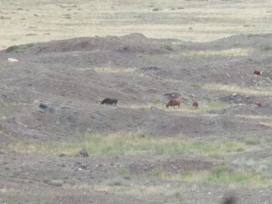 East Kazakhstan Province, Kasachstan: cows near to the lake area
