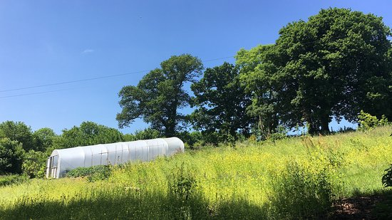 Forest Garden Wales: View of polytunnel across temporary White Mustard ground cover