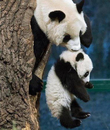Chengdu Research Base Of Giant Panda Breeding Chengdu Panda Base Picture Of Local Chengdu Tours Tripadvisor