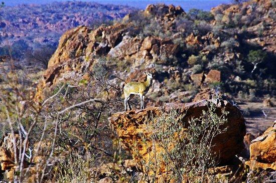 Pabeni Gate Kruger National Park: Klipspringer standing statuesque