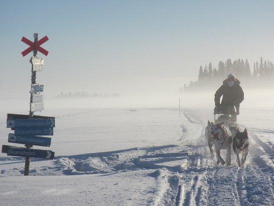 Vilhelmina, Sverige: Raid et séjours chiens de traîneau en Laponie