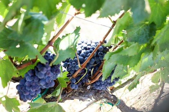 Azienda Agricola Poggio La Luna: Grapes in the wineyard