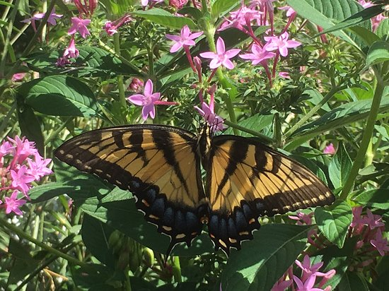 Norfolk Botanical Garden: Swallowtail pauses for a selfie