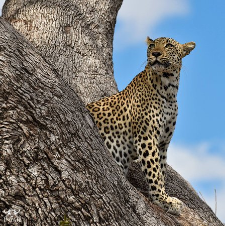 Inyati Private Game Reserve, Sydafrika: See spots in the Sabi Sand
