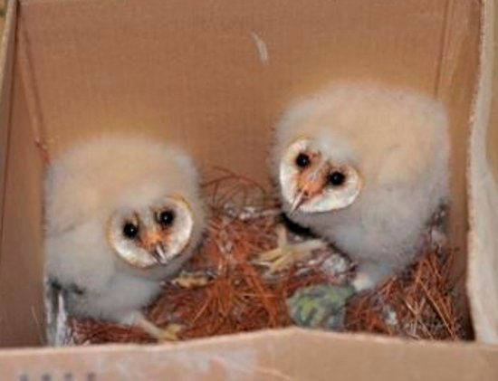 Baby Barn Owls - Picture of Alabama Wildlife Center ...