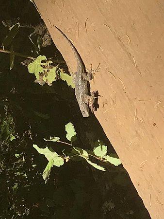 Fairfax, CA: Lounge lizard!