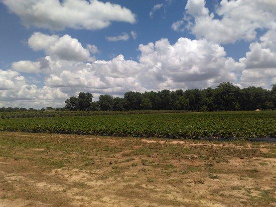 Fort Valley, Georgien: Strawberry Field. GET THE ICECREAM!