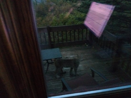 Tundra Rose Guest Cottages: A curious lynx appeared on our deck the first morning! Never saw one in the wild before...