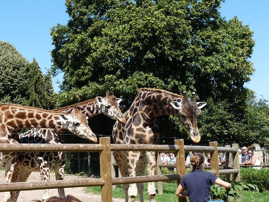 Pleugueneuc, France: Le goûter des girafes