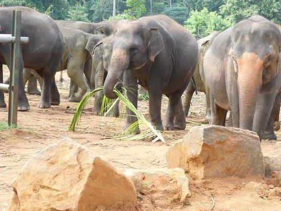 Pinnawala Elephant Orphanage: Elephants