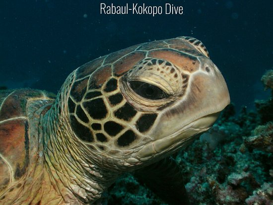 East New Britain, Papua New Guinea: Rabaul-Kokopo Dive A peaceful morning hanging out on the reef. For bookings/enquiries email admi
