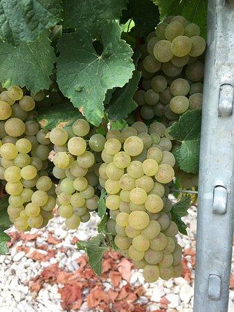 Chichee, Francia: Vigne de Chablis