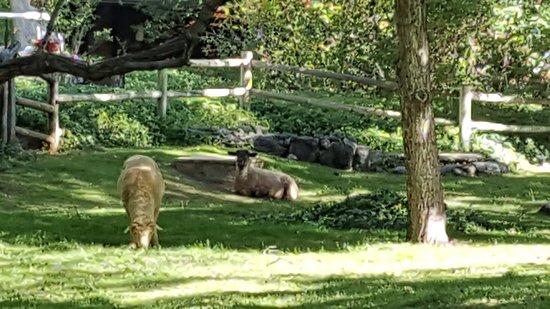 Briar Patch Inn: resident sheep :)