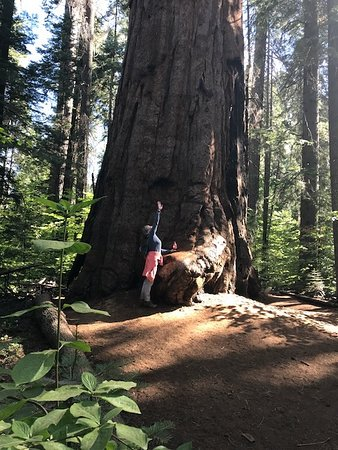 Bear Valley, CA: Nearby Sequoias