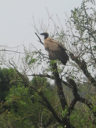 Umfolozi, Südafrika: One of many White-backed vulture. Carcass vultures were feeding off from was nearby.
