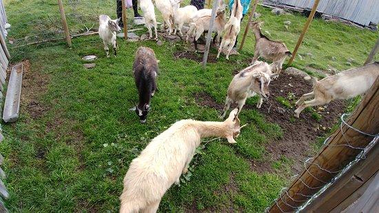 Norddal, นอร์เวย์: goats at Herdal Farm