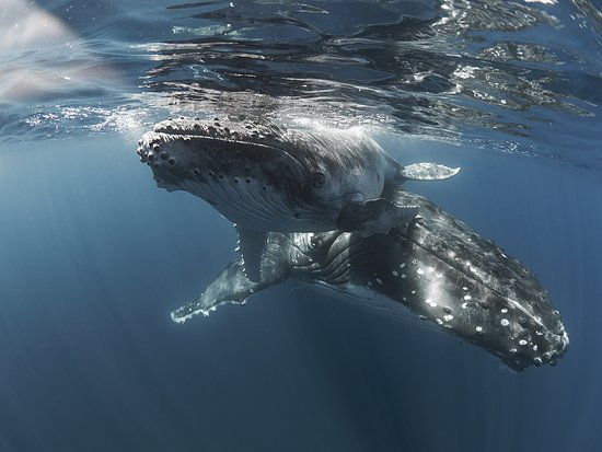 Vava'u Islands, Tonga: If you've ever done a humpback whale watching tour you'll know how exciting it is to watch these gentle giants from your boat. Now multiply that sensation times a million and you're almost close to the feeling of actually swimming with the humpbacks! Vava'u, Tonga hosts up to 2,500 whales at the peak of it's season and many of these are mothers and calves. If bubba is too small mum won't let swimmers get close at all but, given bub is the right size and age, mum seems happy to get close!