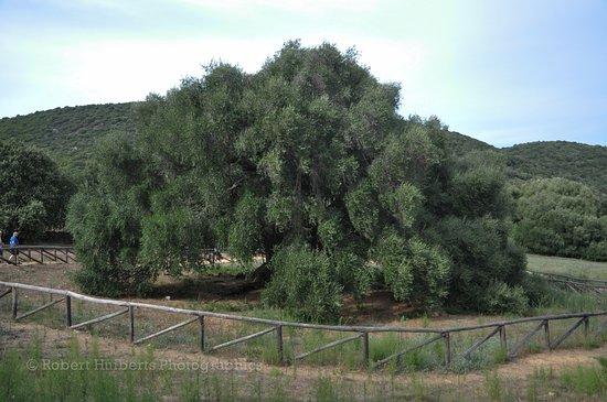 Gairo, Italy: Vierduizend jaar oude olijfboom in Olivastri Millenari