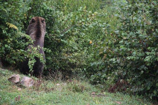 Kuterevo, Croatia: Adult bear on hind legs eating plums