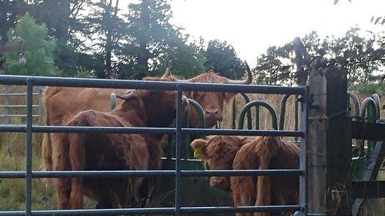 Cornhill, UK: Highland Cows