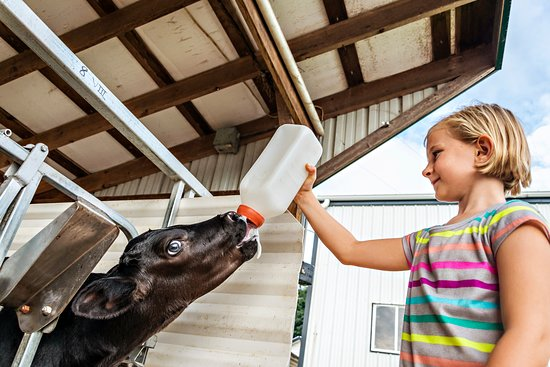 Narvon, PA: daughter feeding a calf a bottle