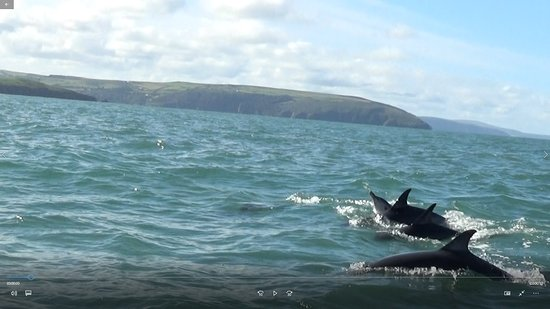 A Bay To Remember Wildlife Boat Trips: Common dolphins in Cardigan Bay