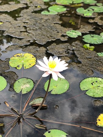 Lotus Flowers In The Water Feature At The Entrance To Our Villa